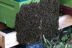 Biskägg, På sensommaren händer det att bina gärna sitter på flustret hela natten.